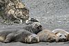 Elephant seals and giant petrels (2xPiP)