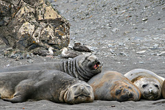 Elephant seals and giant petrels (2xPiP)