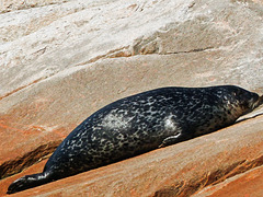 Day 7, Harbor Seal, Saguenay Fjord, Tadoussac