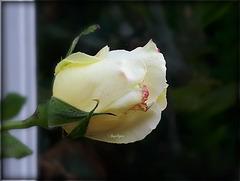 Rose de Novembre ...........Bon we à vous mes Fidèles ami(e)s