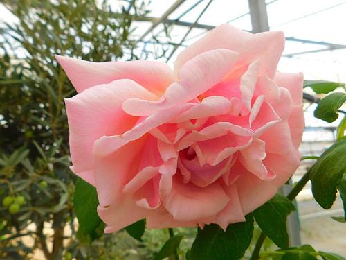 Une rose...