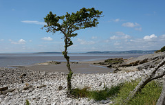 Lone Tree at Silverdale