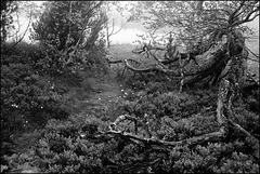 Wurzelkrake bewacht den verbotenen Pfad ins Moor