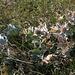 20140908 4919VRAw [NL] Stranddistel (Eryngium mantimum),, Terschelling