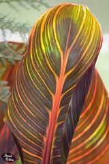 354/366: Unfurling Hosta Leaf
