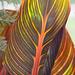 354/366: Unfurling Canna Leaf