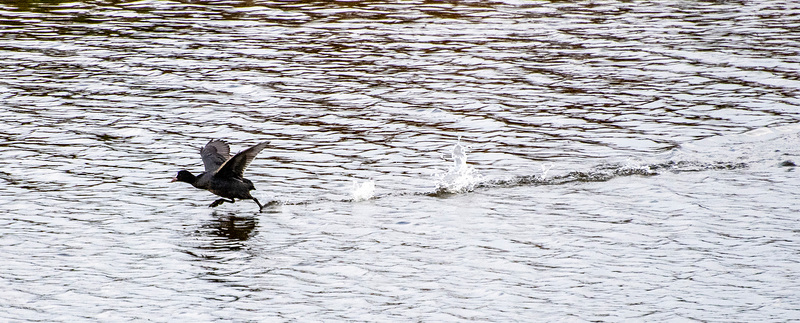 A coot running on water