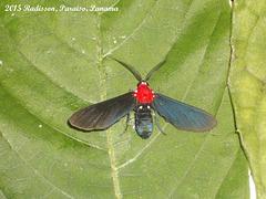 P005RG Psoloptera basifulva