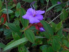 DSCN5270 - quaresmeira Tibouchina urvilleana, Melastomataceae
