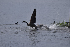 Canada Goose up up and away