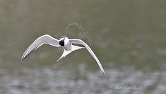 Sterne pierregarin - Sterna hirundo - Common Tern
