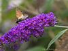 Humming Bird Hawk Moth (2)
