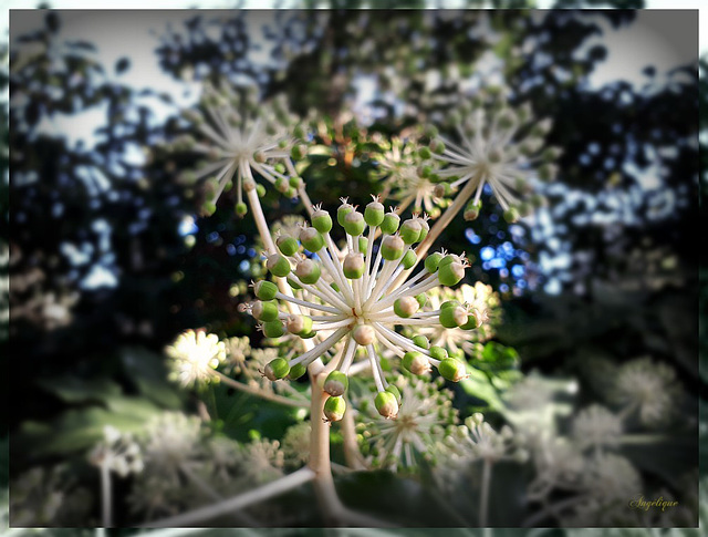 Fatsia japonica (Aralia du Japon)....Joyeuse ST Nicolas ..........Bon dimanche à tous !