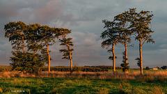 Trees in evening Sunlight.