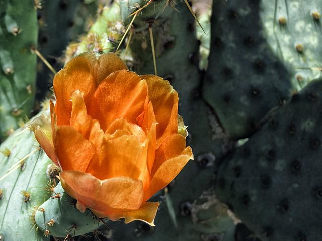 An Arizona Orange Blossom