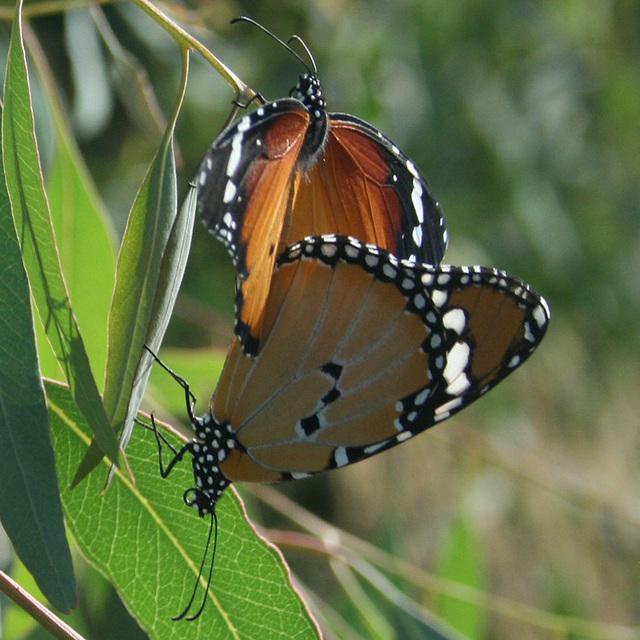 "Danaus chrysippus""Plain Tiger"""