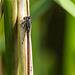 Damsel on a reed