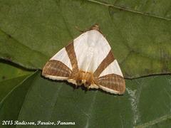P010R Eulepidotis electa