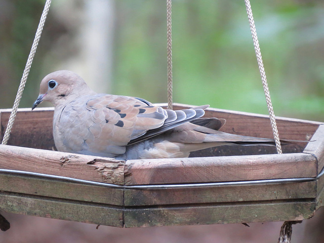 Mourning dove in feeder