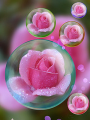 i love roses and  bubbles ◕‿◕。