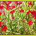 Nerium Calypso Oleander (+1PiP)