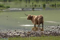A Devonian Highland cow.