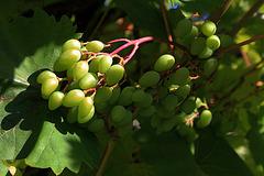 La voilà la jolie vigne , vigni , vignons , vignons le vin , la voilà la jolie vigne au vin.....