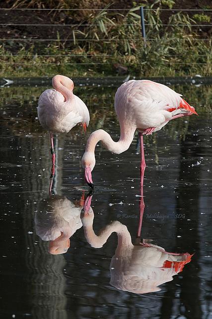 Flamingos (Wilhelma)