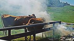 ... und so wird geräucherter Rinderschinken auf der Alm gemacht ...