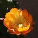 Cactus Flower (5296)