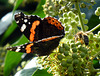 Schmetterling und Biene auf einer Efeublüte