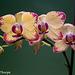 Phalaenopsis 042716-001