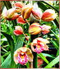 Orchid blossoms unfold... ©UdoSm