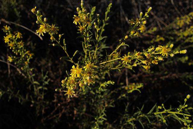Dittrichia graveolens, Asteraceae