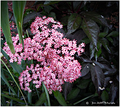 "Sambucus ""Black Beauty"""
