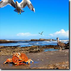 Il y a du crabe royal au menu - Essaouira - Maroc