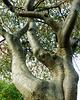 Sorbus - 2 trunks fused