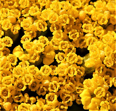 Macro Mondays   Petals  1x PiP Petals of the yellow yarrow