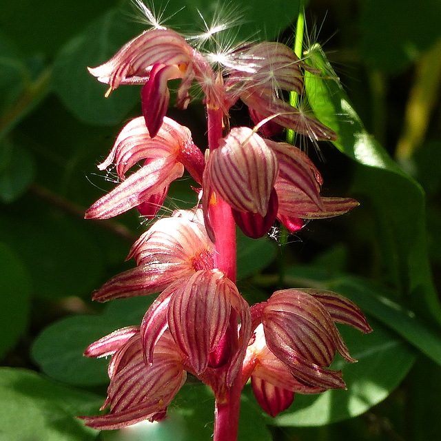 Striped Coralroot / Corallorhiza striata