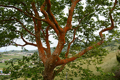 Azores, The Island of Faial, Maple with Red Bark