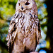 An Eagle Owl