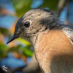Female Western Bluebird...and...We're Going Camping Again!!! (+3 insets!)