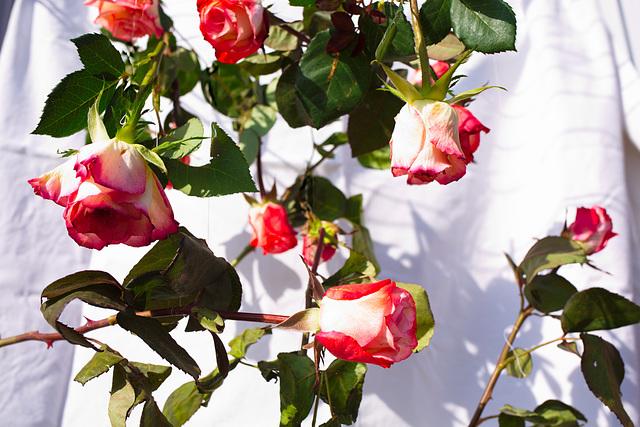 Rose 20/50 : für mich solls rote Rosen regnen