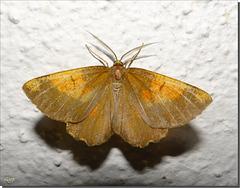Angerona prunaria mâle - variante.