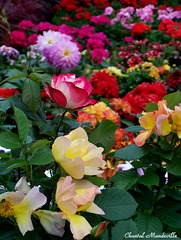 Belles Fleurs... (16)