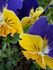 Two Toned Pansies.