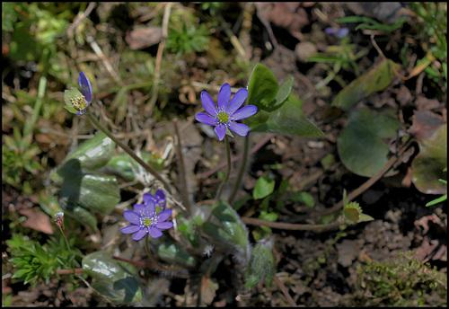 Hepatica nobilis (2)