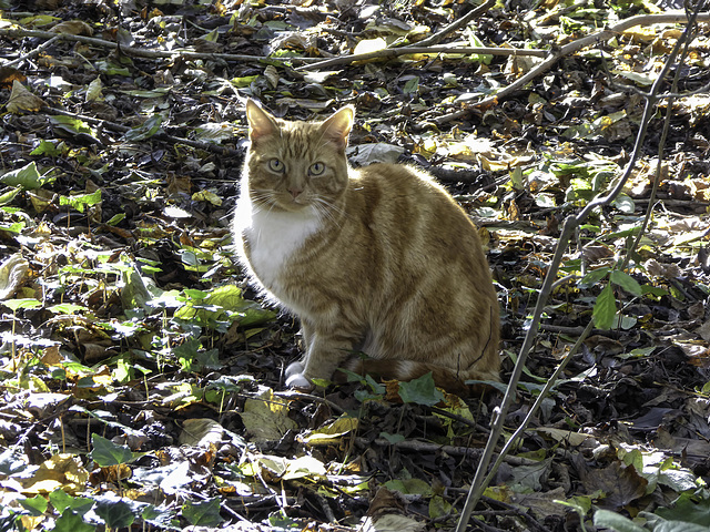 Woodland cat - often seen patrolling the woods