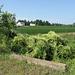Pile of wild cucumber/prickly cucumber/mock cucumber/balsam apple at a farmland ditch.