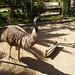 Emus (Dromaius novaehollandie).